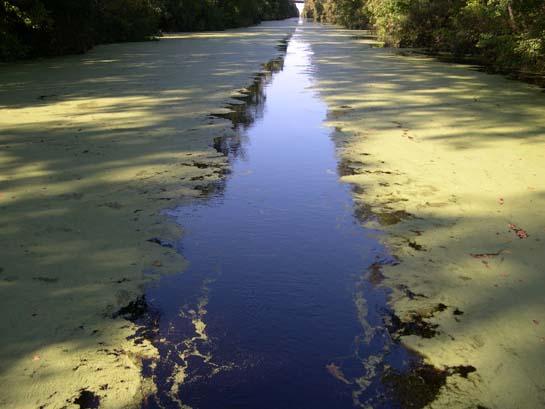 Great dismal swamp alligators